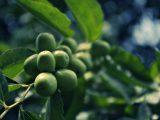 menanam-bibit-apel-putsa