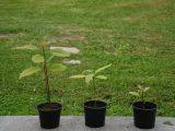 menanam-biji-alpukat
