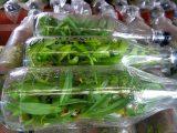 menanam-biji-anggrek-di-botol