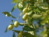 menanam-biji-benih-bidara