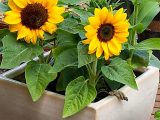 menanam-biji-bunga-matahari
