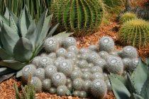 menanam-biji-kaktus-dan-sukulen