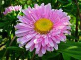 menanam-bunga-aster