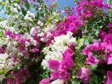 menanam-bunga-kertas