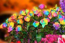 menanam-bunga-mawar-pelangi