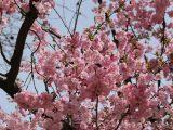 menanam-bunga-sakura-di-indonesia