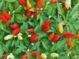 menanam-cabai-rawit-di-pot