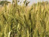 menanam-gandum-di-indonesia