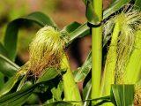 menanam-jagung-manis
