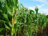 menanam-jagung-manis-di-kebun