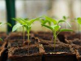 menanam-jeruk-keprok-dari-biji