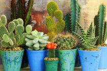 menanam-kaktus-dan-sukulen