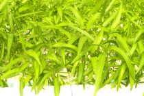 menanam-kangkung-organik