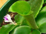 menanam-kencur-di-polybag