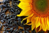 menanam-kuaci-bunga-matahari