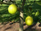 menanam-lemon-di-pot
