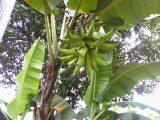 menanam-pohon-pisang-tanduk