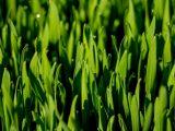 menanam-rumput-gandum