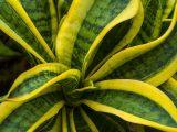 menanam-tanaman-lidah-mertua