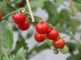menanam-tomat-cherry