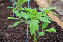 menanam-tomat-dari-biji
