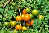 menanam-tomat-secara-organik