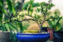 mengatasi-jamur-pada-bonsai