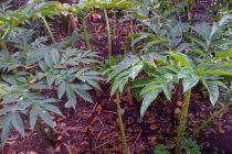 mengatasi-tanaman-porang-berjamur