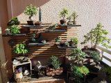 menghilangkan-jamur-putih-pada-bonsai