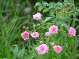 merawat-bunga-mawar-rambat