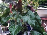 merawat-philodendron-dark-lord