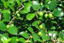 merawat-pohon-bidara-arab