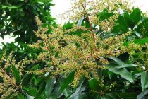 merawat-pohon-mangga-berbunga