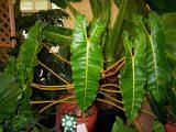 merawat-tanaman-philodendron-billietiae