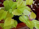 merawat-tanaman-sirih-lemon