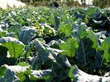 panduan-budidaya-brokoli