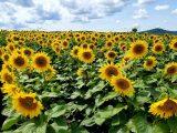 panduan-budidaya-bunga-matahari