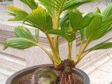 panduan-membuat-bonsai-kelapa