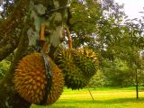 pemangkasan-pada-pohon-durian