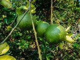 penanaman-pohon-jeruk-nipis