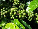 penyakit-layu-fusarium-kopi