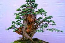 tanaman-bonsai