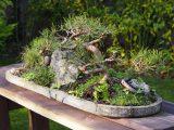 penyebab-daun-bonsai-rontok-berguguran