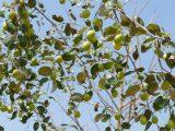 pohon-bidara-cepat-berbuah