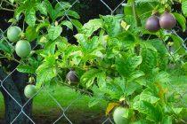 pohon-markisa-rajin-berbuah