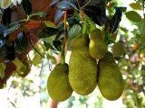 pohon-nangka-cepat-berbuah