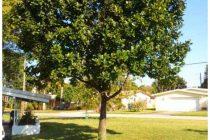 pohon-nangka-tidak-berbuah