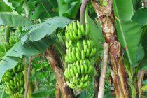 pohon-pisang-berbuah-lebat