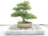 sebab-bahan-bonsai-mati