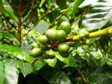 tanaman-kopi-kekurangan-unsur-hara